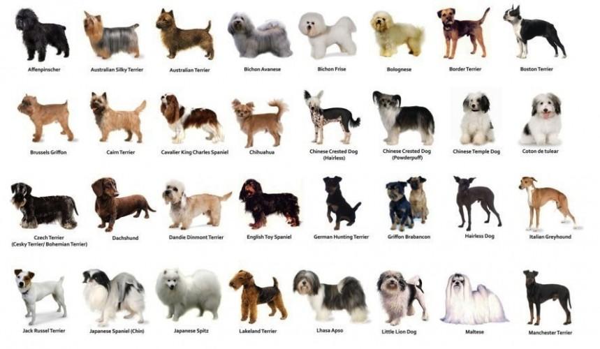 Lista de Cães de Porte pequeno para apartamento