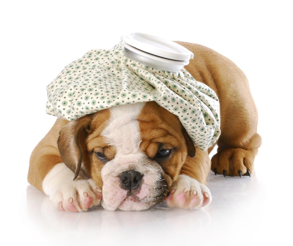 Levar cachorro doente ao veterinário