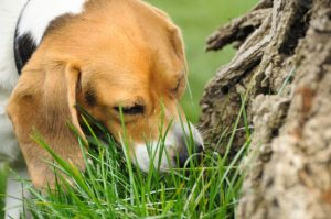 Cachorro cheirando cocô.